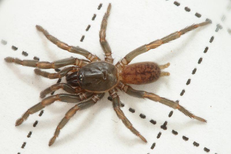 Tasmanian Spiders